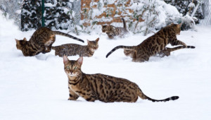 Many Bengal Cats playing in Snow